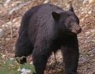 pacrim-09-black-bear
